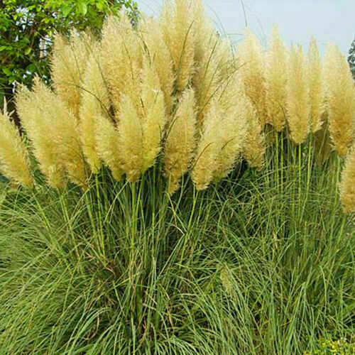 USA SELLER 200 Yellow Pampas Grass Seeds Perennial Flowering Ornimental Grasses