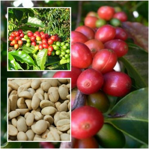 Coffea Arabica 100 Seeds Plant From Thai Arabica For Cultivation Coffee Seeds