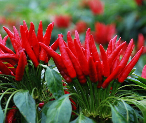 30-Red-Pepper-Seeds-Chili-Capsicum-frutescens-Organic-Vegetables
