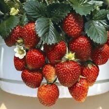 Strawberry Temptation Hybrid Great Vegetable 20 Seeds