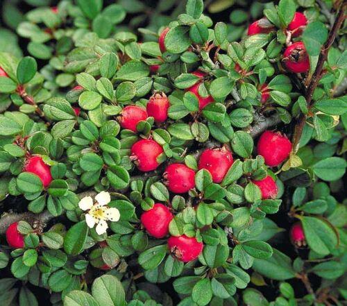 en pot couvre-sol arbuste plante en 9 cm pot streibs Cotoneaster Procumbens