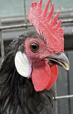5 Fresh Fertile Chicken Hatching Eggs Rare Breeds Assorted Barnyard Mix Minorca