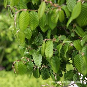 Hornbeam-Carpinus-Betulus-Bare-Root-Hedging-100-125-cm-Multiples-of-3