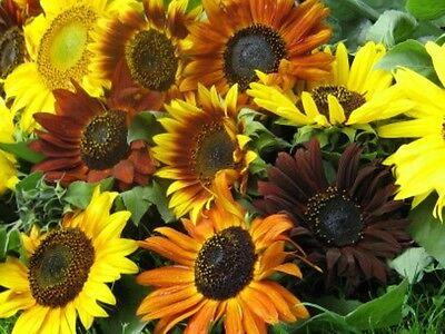 Bunte Sonnenblumen tolle Farben Sommer-Blumen herrlich leuchtender Mix 30 Samen