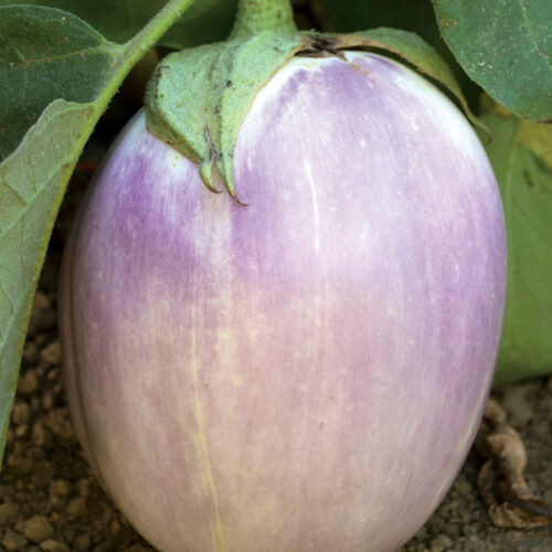 25 Heirloom Rosa Bianca Heirloom Italian Eggplant Seeds-P 076
