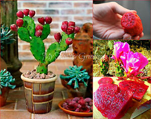 SEEDS-VERY-RARE-Super-Dwarf-Low-Prickly-Pear-Cactus-Opuntia-humifusa