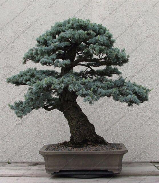 Cedrus Deodara Seeds Bonsai Conifer Trees Garden Plants Indoor Home Decoration For Sale Online Ebay