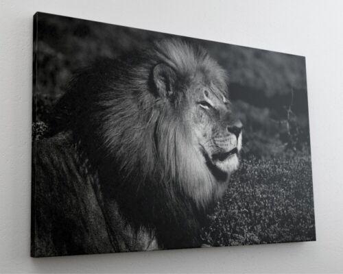 Fotografie Tier Löwe Leinwand Canvas Bild Wandbild Kunstdruck L2013