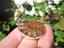 925-Plata-Africano-Madagascar-Amonita-Fossil-Colgante-Collar-Borgona-Color miniatura 4
