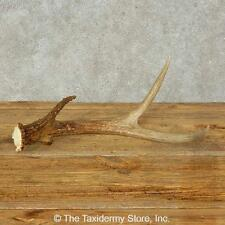 #16209 E | Whitetail Deer Taxidermy Antler Shed For Sale