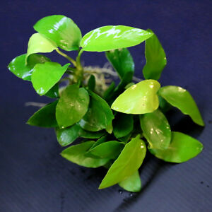 Anubias barteri Golden 6 rhizomes - live aquarium plant