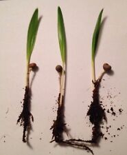 1x Hanfpalme Trachycarpus fortunei Jungpflanze - frostharte Palme Wurzel Sämling