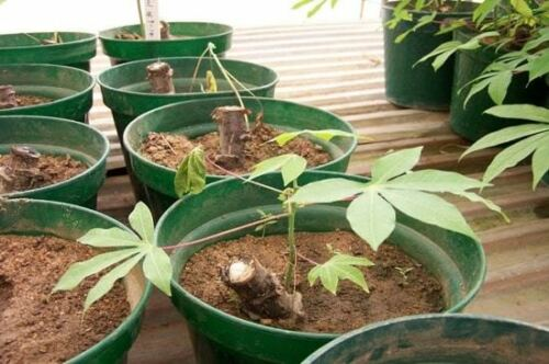 3 Stem Cutting for Growing Mani hot Cassava esculent  7 inch
