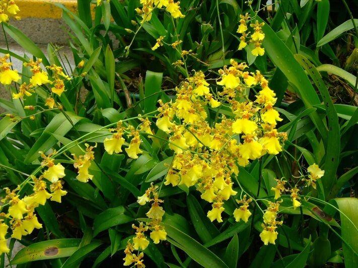 ONCIDIUM SPHACELATUM - Large Mature plants! Great Value! yellow flower sprays..