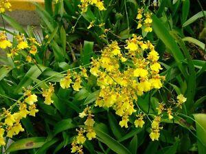 Oncidium Sphacelatum Large Mature Plants Gorgeous Sprays Of