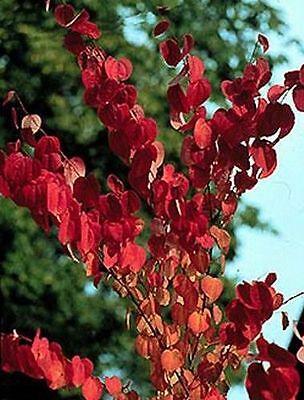 Bel Corry Albero-le Foglie Cambiare Il Colore-ha Un Odore Meraviglioso!-