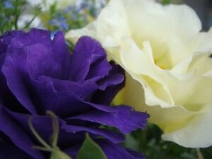 20 purple and white mix lisianthus flower seeds long lasting image is loading 20 purple and white mix lisianthus flower seeds altavistaventures Choice Image