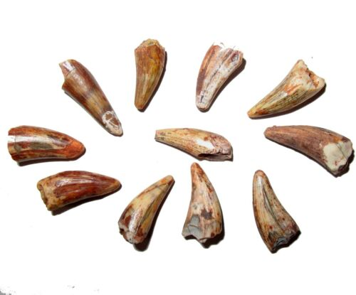 Triassic Koskinonodon Bull Canyon large amphibian tooth fossil Dinosaur beds