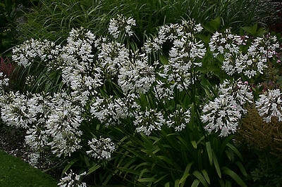 Agapanthus campanulatus 'Wendy' - garden tested, hardy perennial plant