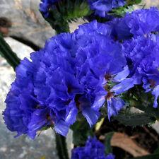 60x Blaues Vergissmeinnicht (Myosotis sylvatica) Samen