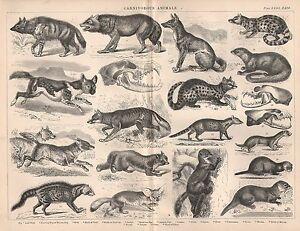 1874 Imprimé~carnivorous Animaux~ Wolf Jackal Belette Renard Loutre Marten Etc 6bjshccy-07225547-551073109