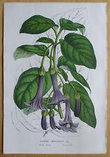van Houtte: Garden Flowers Iochroma Warscewiczii * - 1852#