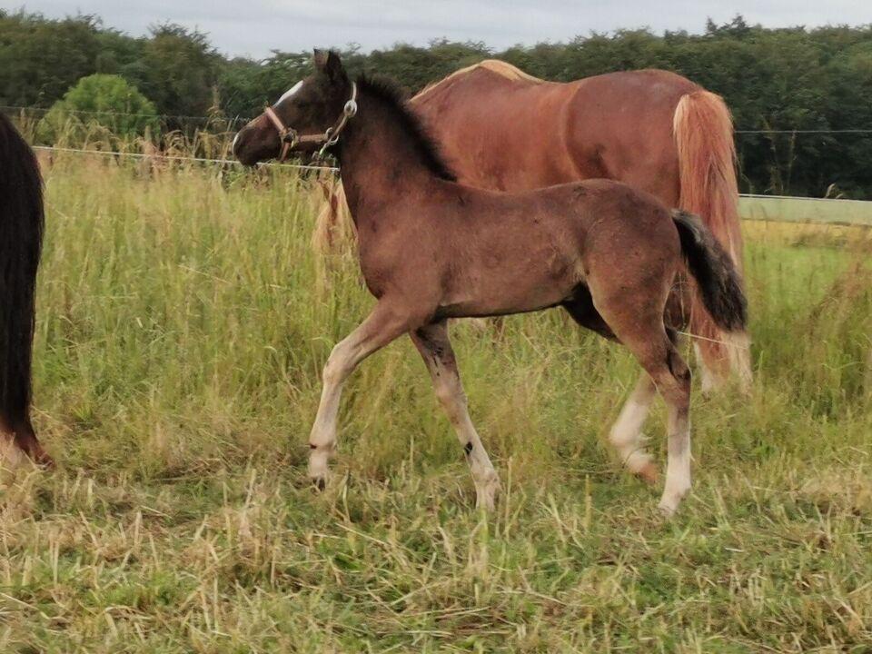 Welsh pony og Cob, hingst, 0 år