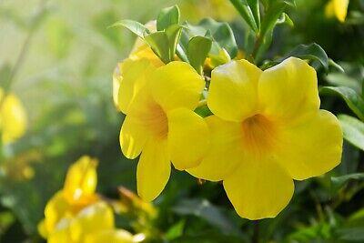 Esperanza Tecoma Stans Texas Yellow Bells flower 60 seeds
