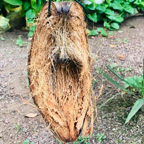 Orchid Tillandia Coconut Husk Shell With Hanger Epiphyte Tropical Plant Garden