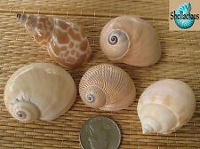 5 MEDIUM SEA SHELLS FOR YOUR GROWING HERMIT CRABS