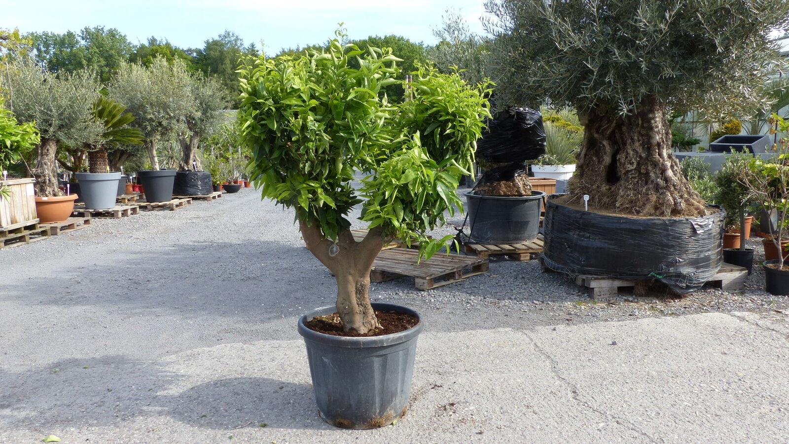 Citrus Reticulata Bonsai Mandarinenbaum Mandarine Zitruspflanze