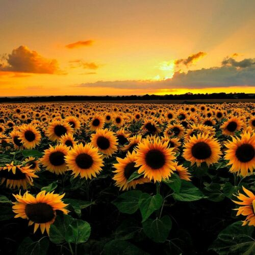 Vincent Sunflower Seed 6 Seeds Helianthus Annus Beautiful Flowers Seed A297
