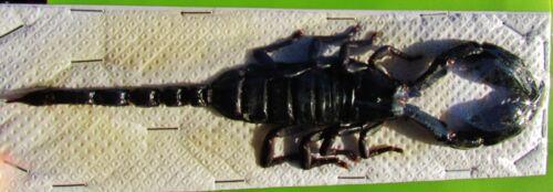 "Lot of 10 Popular Giant Black Scorpion Heterometrus laoticus 6-7 ½""  FAST USA"
