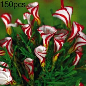Am-150Pcs-Rare-Versicolor-Oxalis-Flower-Plant-Seed-Garden-Balcony-Yard-Bonsai-D