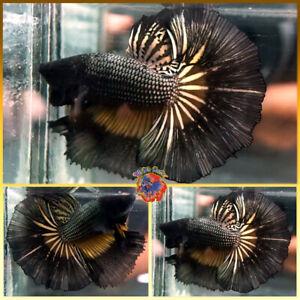 Live Betta Fish Male Fancy Yellow Inner Black Orchid Dragon Halfmoon #V554