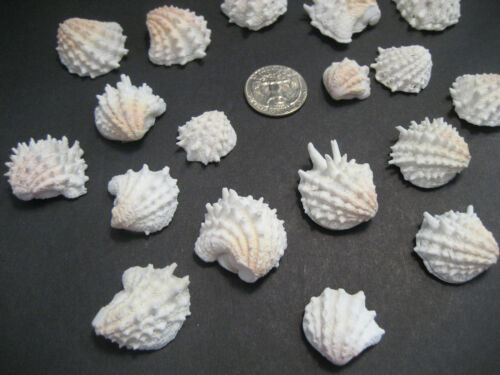20 Spiny Jewel Box Beach Shells From Siesta Key Beach Gulf Waters