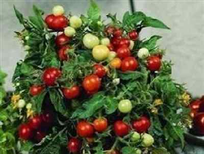 Vegetable - Tomato - Micro Tom - 50 Seeds - Large