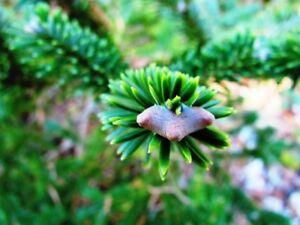 10 Seeds Abies Forresti Var Georgii Georges Fir Delavayi Ebay