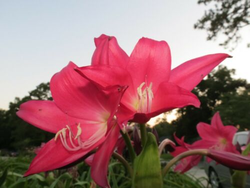 This is Outrageous Oh NEW Crinum Lily RARE medium-size bulb