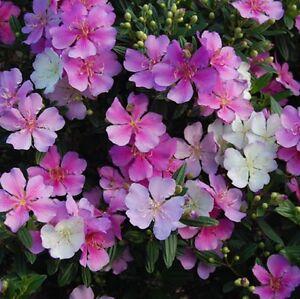 CHAMELEON-Tibouchina-multi-coloured-dense-screening-plant-in-180mm-pot