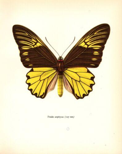 "1963 Vintage PROCHAZKA BUTTERFLY /""CRAMER TROIDES AMPHRYSUS/"" COLOR Lithograph"