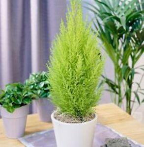 LEMON-SENT-Cupressus-macrocarpa-scented-soft-foliage-conifer-plant-in-180mm-pot