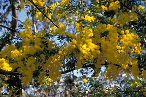 Rock Wattle Acacia Rupicola 20 Fresh seeds