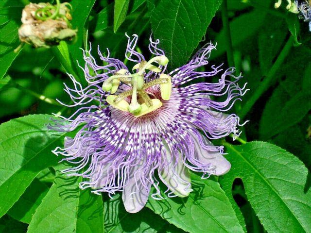 Inspiration Purple Violet Blue Passion Flower Vine Plant