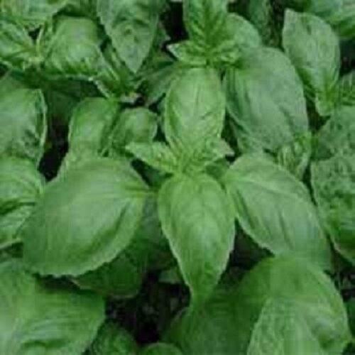 20,000 Basil Seeds Italian Large Leaf BULK SEEDS
