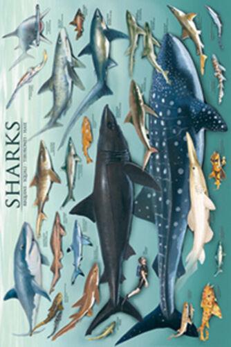 NEW Safari Ltd # 293121 Sharks Laminated Poster