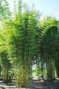 50 Bambusa Oldamii Bamboo Seeds Privacy Garden Clumping Shade