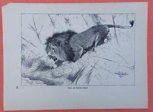 Discipliné Lion De Potions Dérive Panthera Leo Wilhelm Kuhnert Afrique Gravure Sur Bois 1920 Lion-afficher Le Titre D'origine