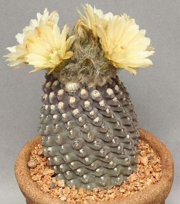 Neoporteria Napina (10 SEEDS) Rare Cactus Samen Korn Semi Graine 種子 씨앗 Семена