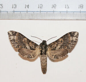 Dolbogene-hartwegii-FEMALE-Mexico-Sonora-MOUNTED-Sphingidae